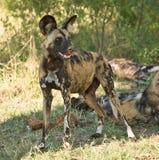 Het wilde portret van de Hond Stock Foto's