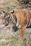Het wilde tijger lopen Royalty-vrije Stock Fotografie