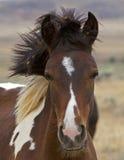 Het wilde uncombed veulen van de Mustang royalty-vrije stock foto's