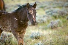 Het wilde Veulen van de Mustang royalty-vrije stock foto's