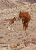 Het wilde Veulen van de Mustang Stock Foto's