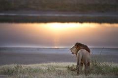 Het wilde vrije leeuwportret liggen stock afbeelding