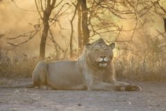 Het wilde vrije leeuwportret liggen Royalty-vrije Stock Afbeelding