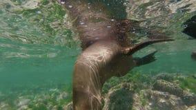 Het wilde zeeleeuwgroep onderwater zwemmen stock footage