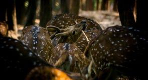 Het wildfotografie, hertenfotografie, het wildfotografie royalty-vrije stock afbeelding