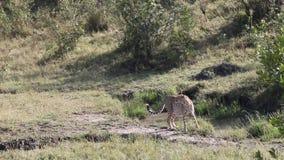 Het Wildsafari van jachtluipaardafrika stock footage