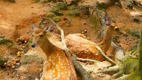 Het wildscène Jonge braakakker whitetail herten, wild zoogdierdier in het bos omringen Bevlekt, Chitals, Cheetal, As stock video