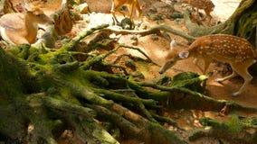 Het wildscène Jonge braakakker whitetail herten, wild zoogdierdier in het bos omringen Bevlekt, Chitals, Cheetal, As stock footage