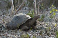 Het wildscène van reuzeschildpad in het eiland van de Galapagos Royalty-vrije Stock Fotografie