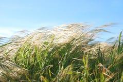 Het winderige Gras van de Dag Royalty-vrije Stock Afbeeldingen