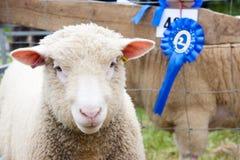 Het winnen van de prijs de schapen bij landbouw tonen Stock Afbeelding