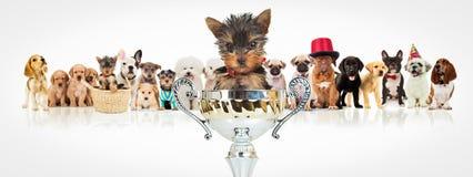 Het winnen Yorkshire terriër voor hondenpak Stock Afbeeldingen