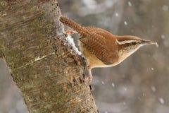 Het Winterkoninkje van Carolina in Sneeuw Stock Fotografie