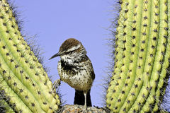 Het Winterkoninkje van de cactus Stock Foto
