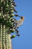 Het winterkoninkje van de cactus Stock Afbeeldingen
