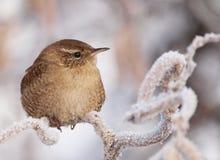 Het Winterkoninkje van de winter Royalty-vrije Stock Afbeeldingen