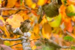 Het winterkoninkje zit op boom Royalty-vrije Stock Foto