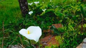 Het wit bloeit lilly in wilde aard in Portugal stock video