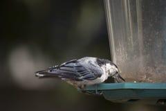 Het wit breasted nuthatch op een voeder van de binnenplaatsvogel Stock Fotografie
