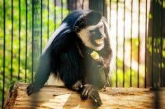 Het wit cheeked gibbon stock foto