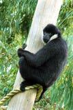 Het wit cheeked gibbon Royalty-vrije Stock Afbeelding