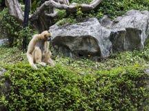 Het wit cheeked gibbon Royalty-vrije Stock Fotografie