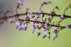 Het wit en de Sering kleurden Tropische Bloem Royalty-vrije Stock Afbeelding