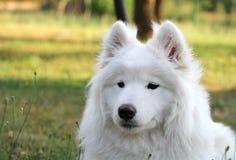 Het wit samoyed puppyhond ontspant bij tuin Royalty-vrije Stock Foto's