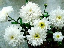 Het wit van chrysantenbloemen Stock Afbeelding