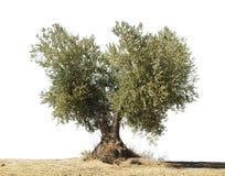 Het wit van de olijfboom   royalty-vrije stock foto