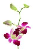 Het wit van de orchidee royalty-vrije stock afbeelding