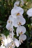 Het wit van de Phalenopsisorchidee Royalty-vrije Stock Foto's