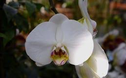 Het wit van de Phalenopsisorchidee Stock Afbeeldingen