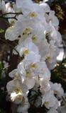 Het wit van de Phalenopsisorchidee Stock Foto's