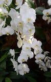 Het wit van de Phalenopsisorchidee Stock Afbeelding
