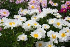 Het wit van de pioenbloem Royalty-vrije Stock Afbeelding