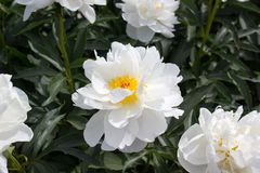 Het wit van de pioenbloem Royalty-vrije Stock Foto's
