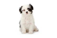 Het Wit van het puppy met Zwarte Noteringen Royalty-vrije Stock Afbeelding