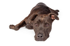 Het Wit van Labrador Pit Bull Dog Laying Over Royalty-vrije Stock Fotografie