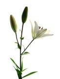 Het wit van Lilly Stock Foto's