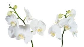 Het wit van orchideephalaenopsis Stock Foto's