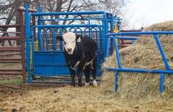 Het wit zag zwarte eenjarige koe onder ogen zich bevindt voor ladingsshute en naast een ronde voeder van de hooibaal stock foto