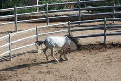 Het wit zuiver-blooded Arabisch paard royalty-vrije stock afbeelding