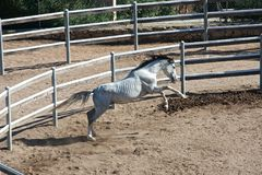 Het wit zuiver-blooded Arabisch paard Royalty-vrije Stock Afbeeldingen