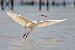 Het witte aigrette vliegen (egrettagarzetta) Stock Fotografie