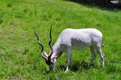 Het witte Antilope Weiden Stock Afbeelding