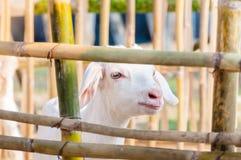Het witte babygeit spelen met bamboeomheining, sluit omhoog van witte geiten in landbouwbedrijf Stock Foto's