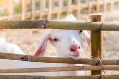 Het witte babygeit spelen met bamboeomheining, sluit omhoog van witte geiten in landbouwbedrijf Royalty-vrije Stock Afbeeldingen
