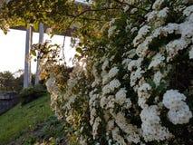 Het witte Bloeien van Bloemen royalty-vrije stock foto's
