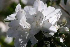 Het witte bloem bloeien Stock Foto's